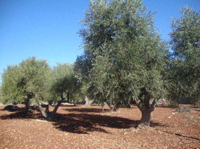 Lavorazioni terreno agricoltura ulivo