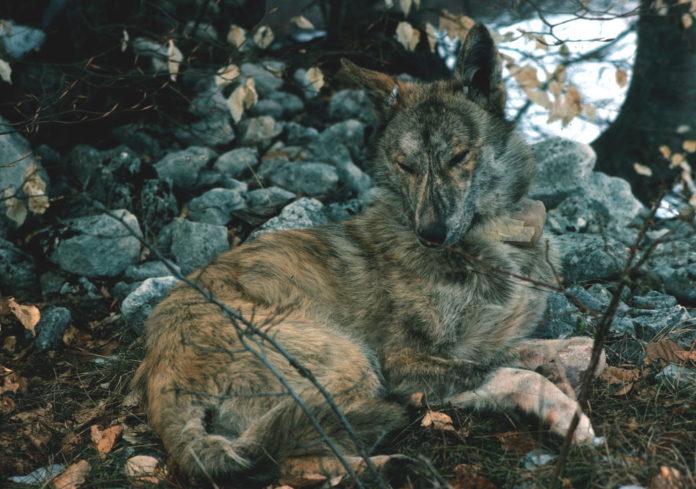 cane lupo ibridazione