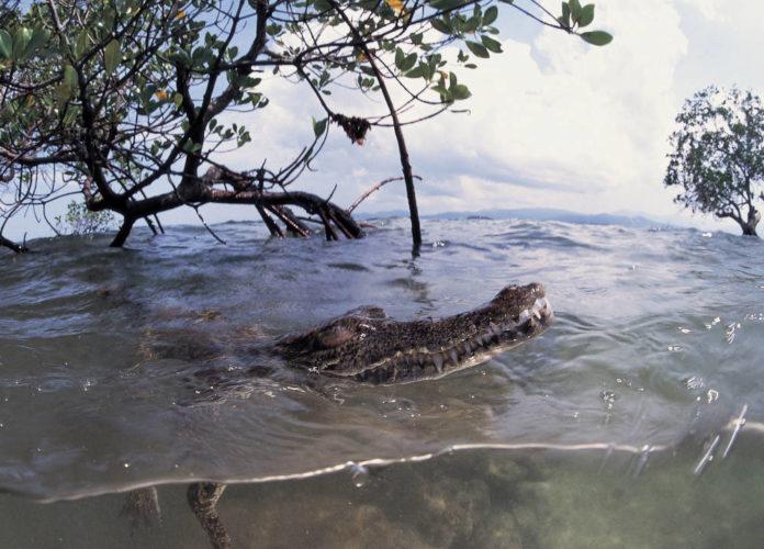 coccodrillo delle filippine in estinzione