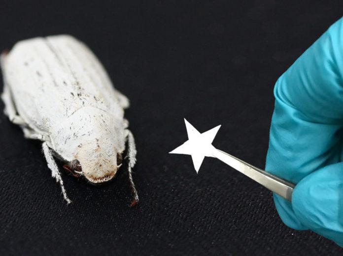 coleottero bianco