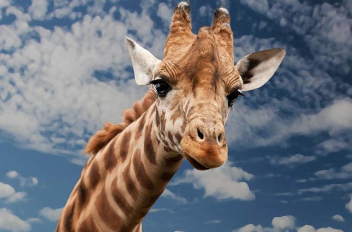 giraffa animali