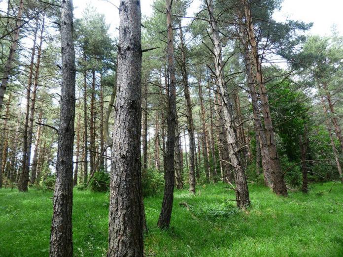pineta pino boschi foreste