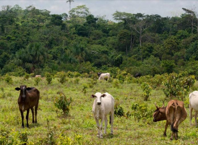 deforestazione pascolo