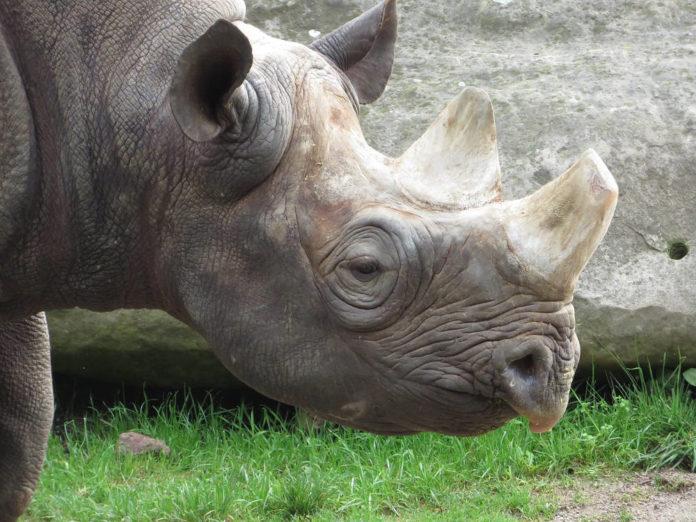 rinoceronte 87