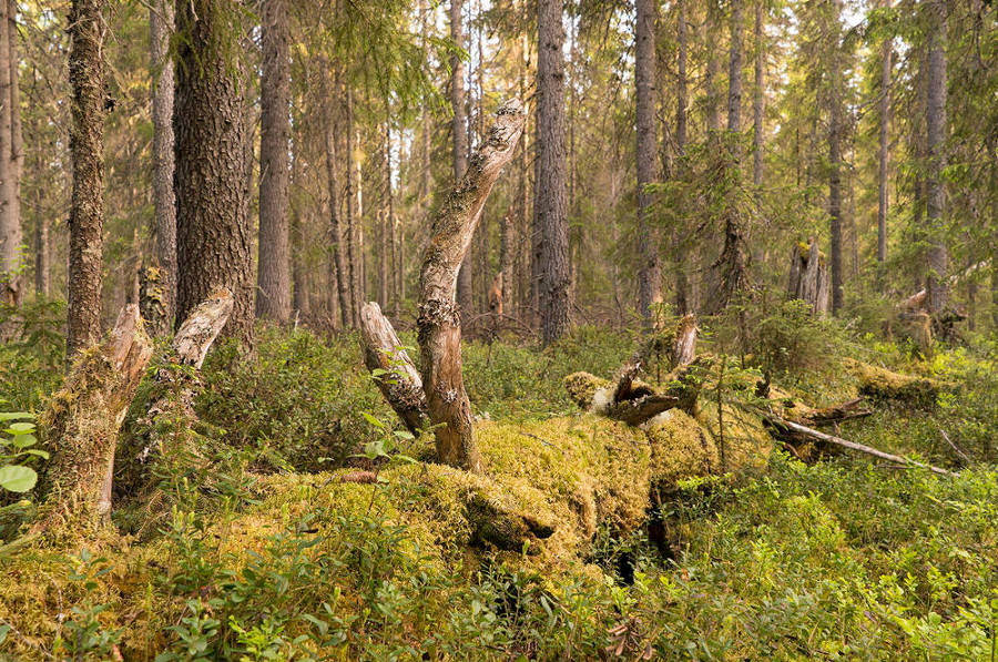 Foresta Dvinsky 2