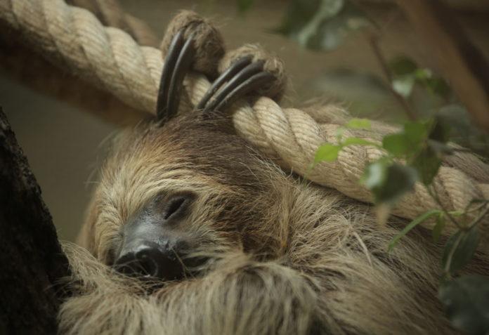Parco Natura Viva bradipo didattilo