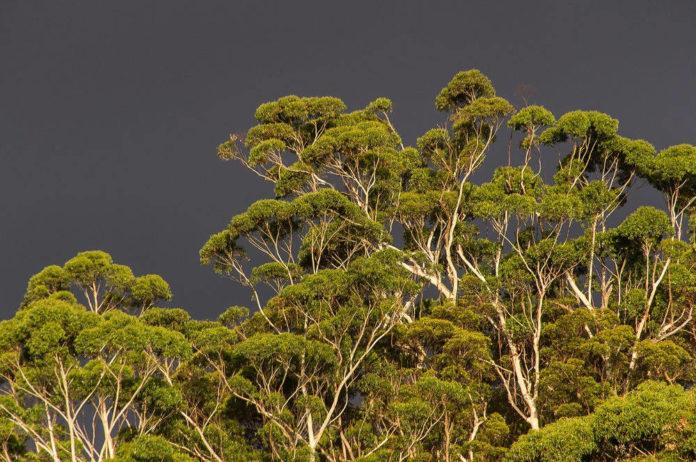 foresta eucalipto