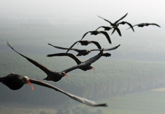 Ibis eremita del progetto Reason for hope in volo