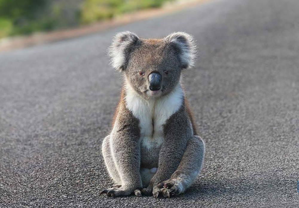 Risultati immagini per koala australia