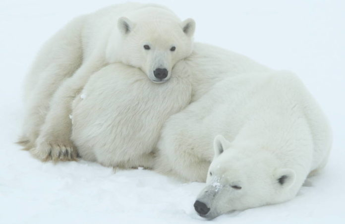 Orso polare © David Jenkins trackerbaz.com WWF-Canada