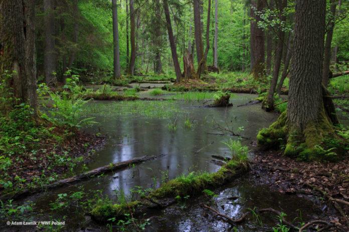 Foto Uno scorcio del parco di Bialowieza in Polonia © Adam Łavnik,Wwf Poland