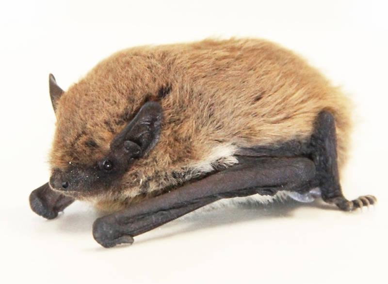 Pipistrello alibombato (Pipistrellus kuhlii), specie diffusa in Italia ed in Puglia (Foto Leonardo Ancillotto)