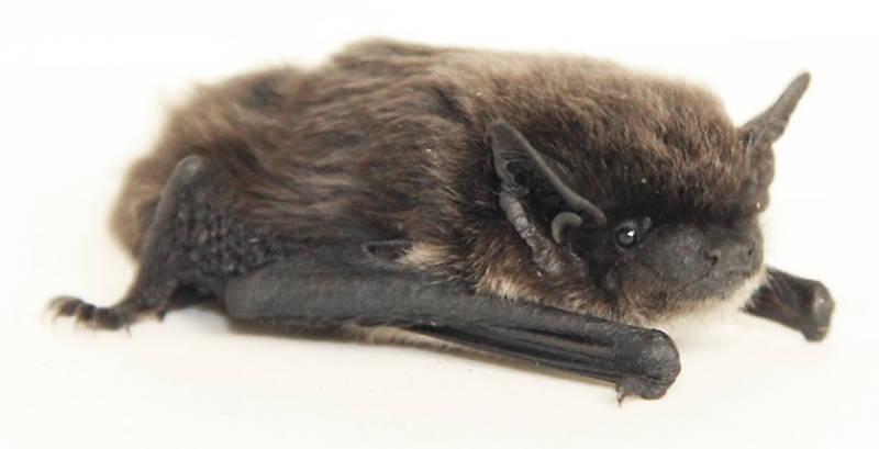 Pipistrello di savi (Hypsugo savii), anch'essa specie diffusa in Italia e in Puglia (Foto Leonardo Ancillotto)