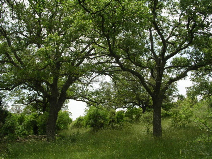 Tipico bosco di fragno 89