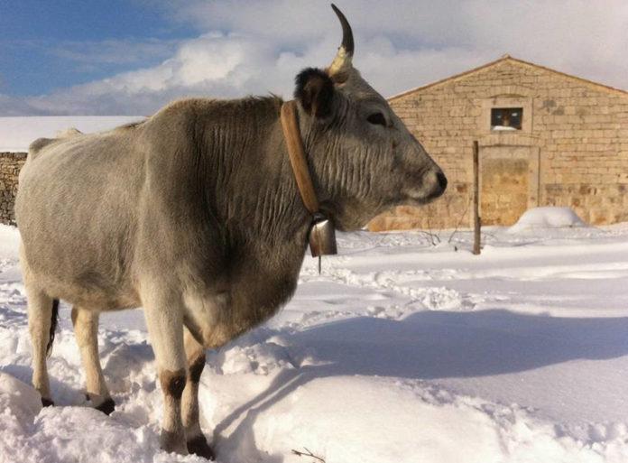 Vacca podolica parco Nazionale Alta Murgia Foto Stazione Biologica Corte Cicero