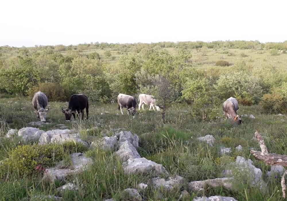 Vacche podoliche al pascolo Foto Stazione Biologica Corte Cicero
