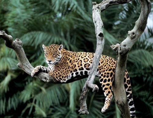 giaguaro © Y J Rey Millet WWF