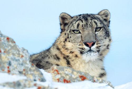 leopardo delle nevi Klein & Hubert WWF