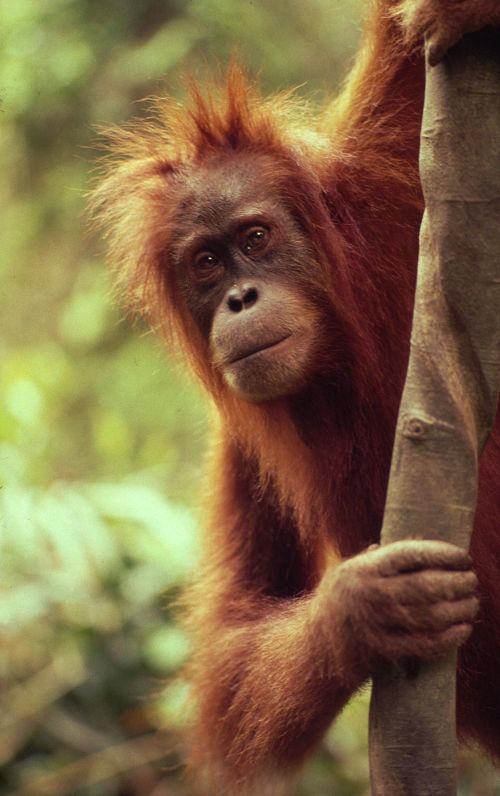 orango © Michel Terrettaz WWF