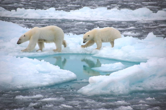 orsi polari artico