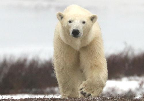 orso polare © Don MacMillan