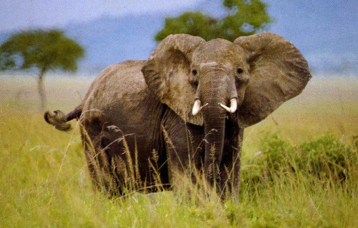 Animali a Rischio Elefante Africano