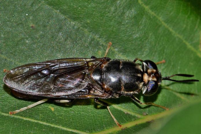 Maricchiolo esemplare adulto di mosca soldato Hermetia illucens 90