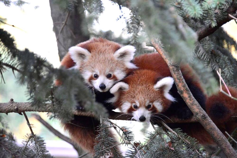 Panda rosso 1