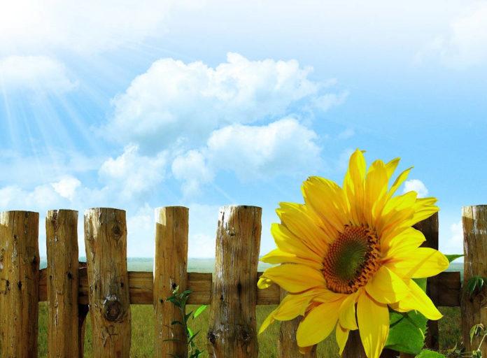 girasole crescita decrescita Image by Larisa Koshkina from Pixabay