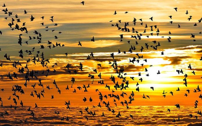 uccelli migratori migrazioni