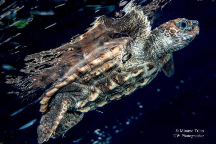 credit Mimmo Tritto- caretta liberata dal WWF Molfetta dal golfo di Bisceglie