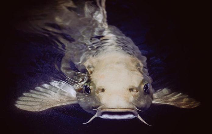 pesce siluro specie aliene biodiversità