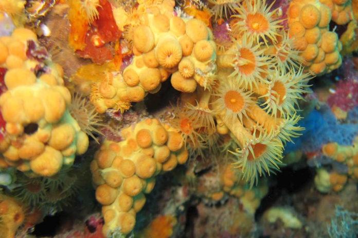 1. Margherita di mare - Morfotipo arancione