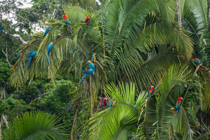 Macaws on clay lick at the Tambopata Reserve, Peru.
