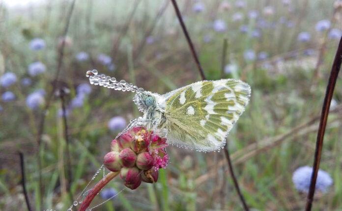 impollinatore farfalla