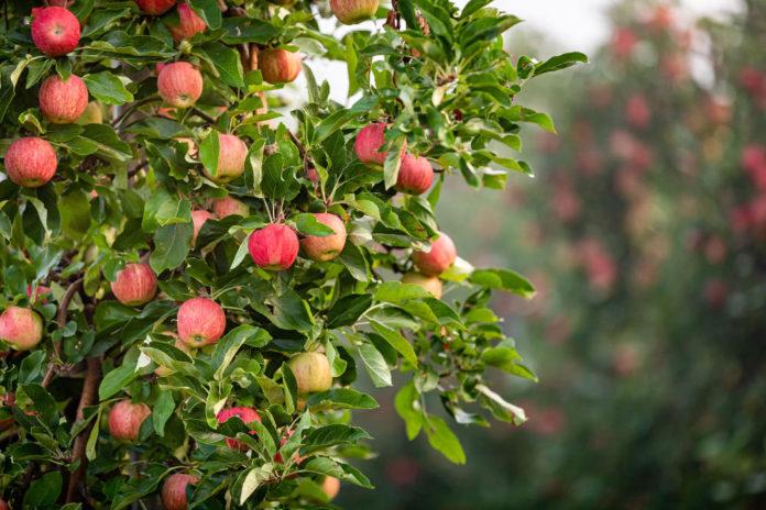 mele Äpfel im Vinschgau 01 (Jörg Farys)