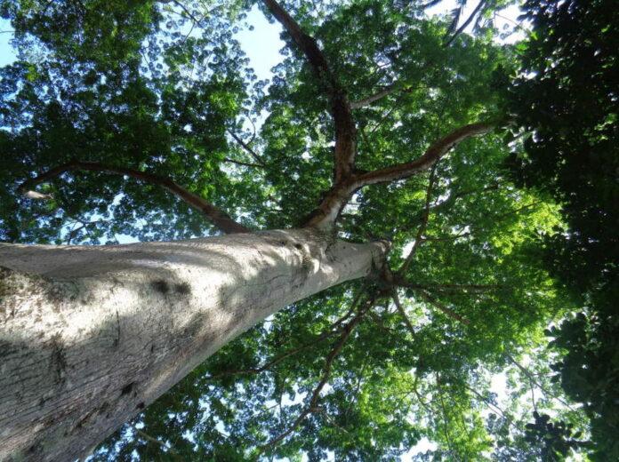Un albero di Sumaúma, vero gigante della natura