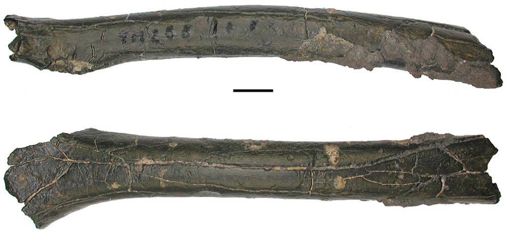 femore fossile