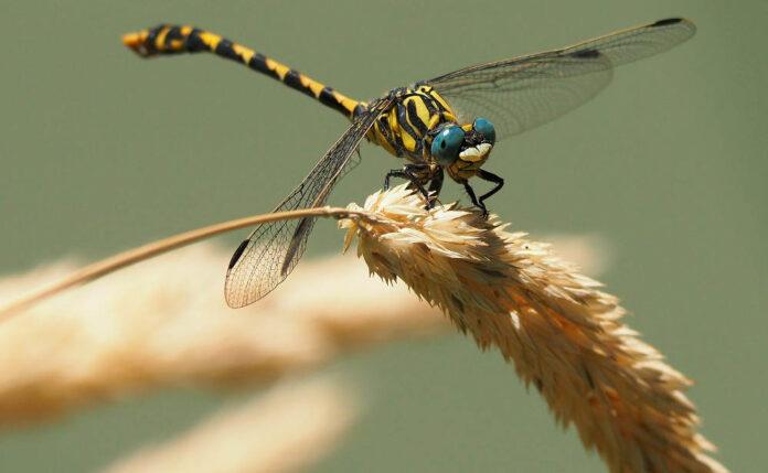 insetti libellula