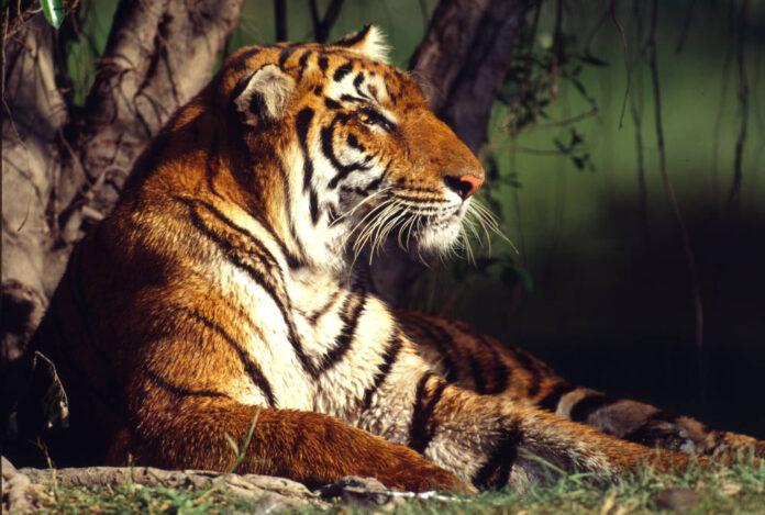 Tigre ©-Martin Harvey- WWF