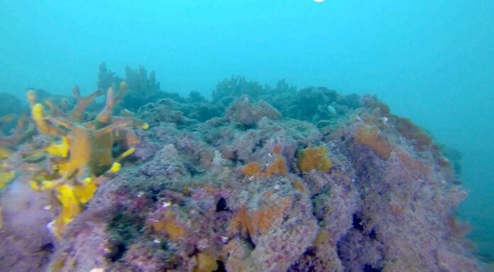 Bergamasco coralli