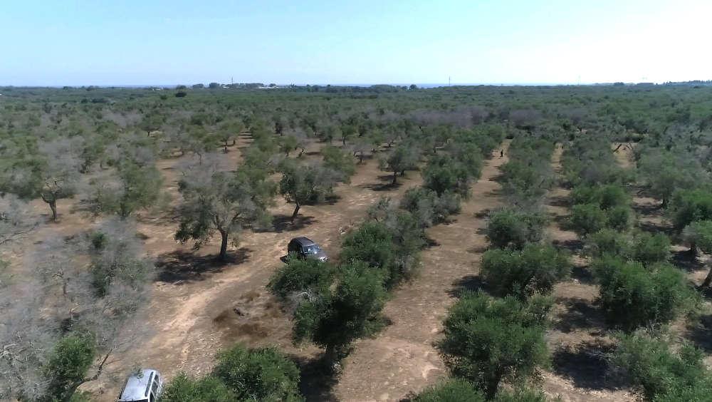 Otranto scortichini xylella