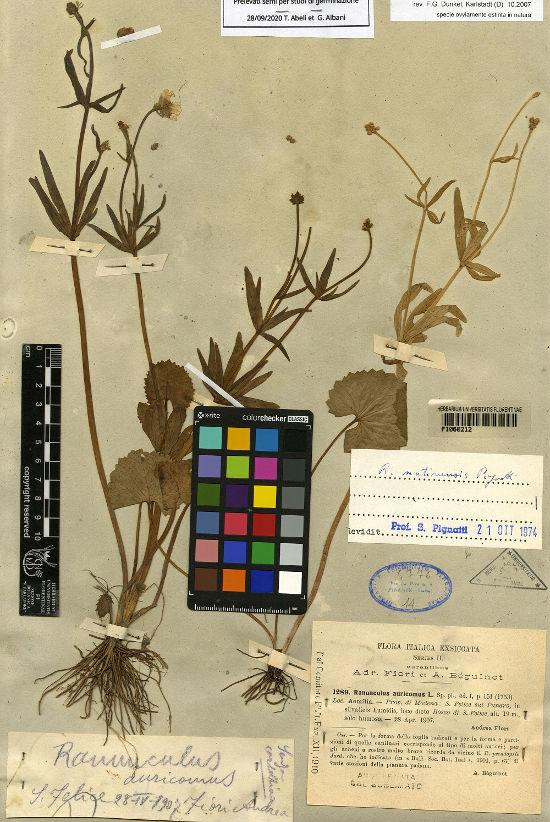 Ranunculus mutinensis Pignatti, © Herbarium Centrale Italicum