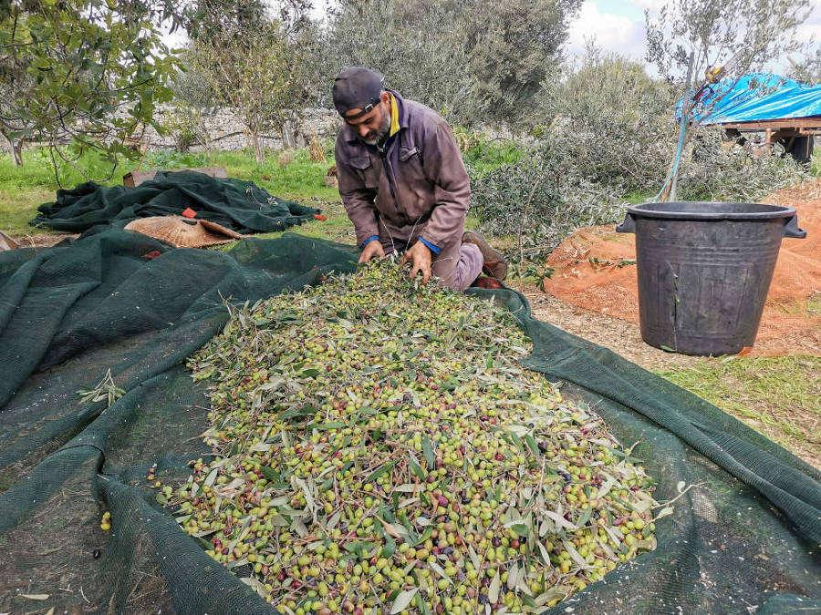 olive puglia