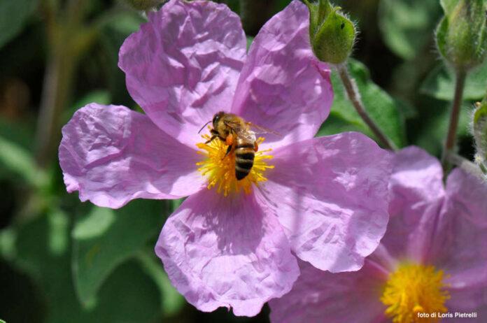 Fiore di Cisto, foto di Loris Pietrelli