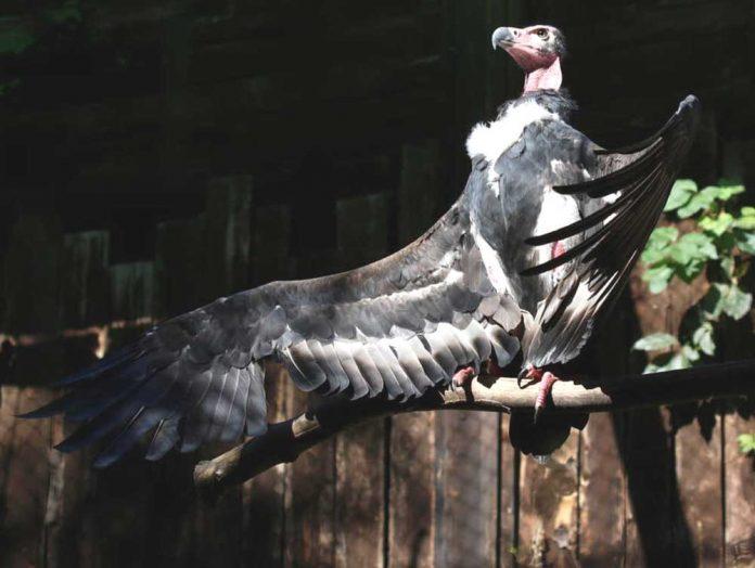 avvoltoio1